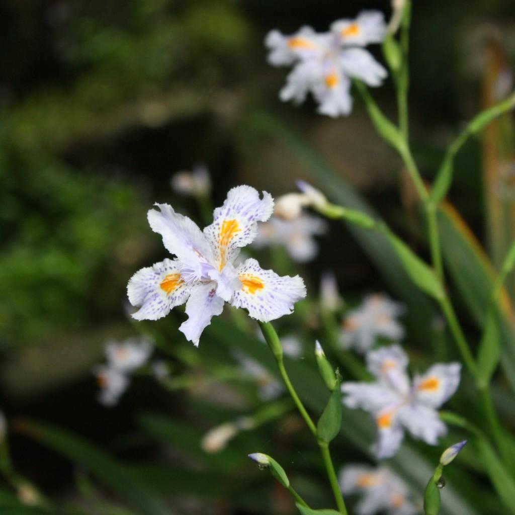 orchid hz